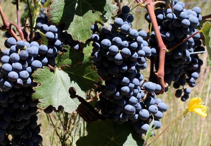 uvas de malbec en las vinas