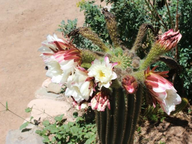 fleurcactus